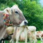 Cows Breeding Project