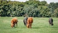 Details About Cow Farm Project