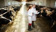 Dairy Cows Breeding Project in Egypt