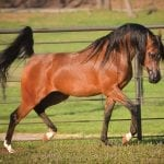 Learn More about the Arabian Horse Trade