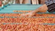 ما هي خطوات زراعة القهوة في مصر