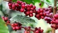كيف يتم زراعة القهوة في تونس