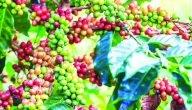 ما هي طريقة معالجة بذور القهوة