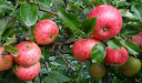 ما هو موسم زراعة التفاح