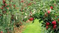كيفية العناية بشجرة التفاح