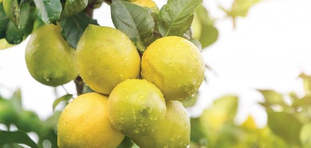 في أي شهر يُزرَع الليمون