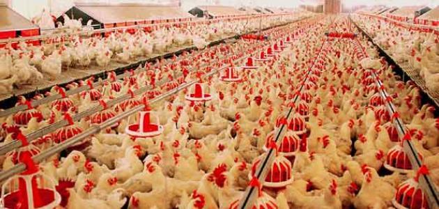 ما هي شروط انشاء مزرعة لتربية الدواجن