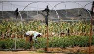 ما هي زراعات مربحة في الصّومال