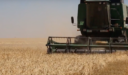 تجارة محصول الشعير في سوريا