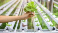 دراسة جدوى تأسيس مشروع الزراعة المائية