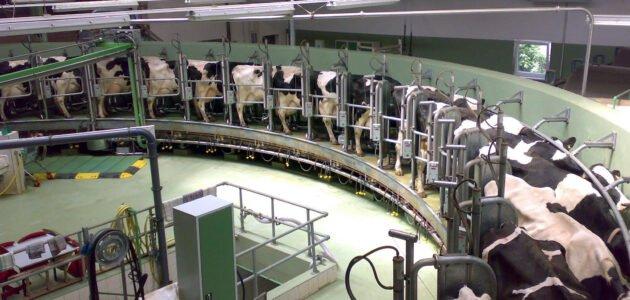 كيفية بدء مشروع تربية الجاموس الحلاب في ألمانيا