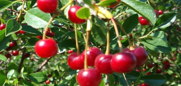 مواسم زراعة الكرز وطريقة زراعة شجرة الكرز وكيفية الاعتناء بأشجار الكرز بعد الزراعة