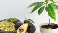 مواسم زراعة الأفوكادو وطريقة زراعة شجرة الأفوكادو