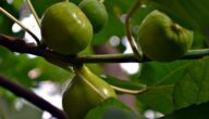 مواسم زراعة التين وما هو نوع التربة المناسب لنبات التين