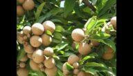 مواسم زراعة السابوتا وطرق زراعة السابوتا