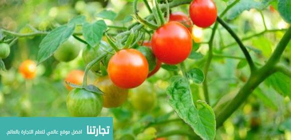 مواسم زراعة البندورة وطريقة زراعة البندورة وفوائدها