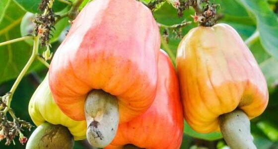 مواسم زراعة الكاجو وطريقة زراعة شجر الكاجو واماكن زراعة الكاجو