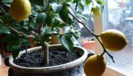 مواسم زراعة الليمون الحامض وطريقة زراعة شجرة الليمون