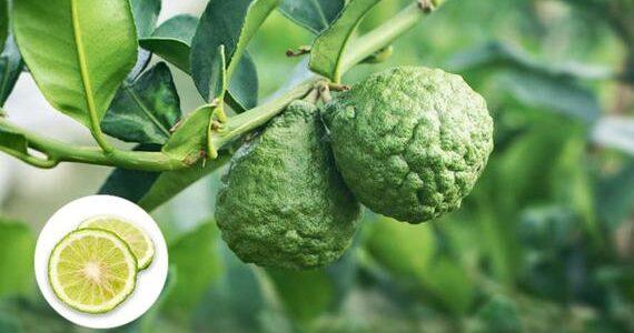 مواسم زراعة الليم المجعد وطريقة زراعة الليم المجعد والفوائد الصحية لـالليم المجعد