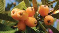 موسم زراعة البشملة اليابانية وطريقة البشملة اليابانية