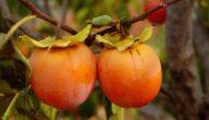 موسم زراعة الكاكا وطريقة زراعتها وفوائد تناولها الصحية