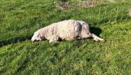 أسباب موت الأغنام وتجنب موت الخراف