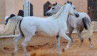 أشهر البلدان استيرادا للخيول الأصيلة