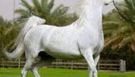 أشهر البلدان تصديرا للخيول الأصيلة