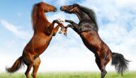 أشهر الخيول العربية الأصيلة