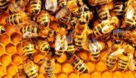 أمراض أساسية تصيب النحل