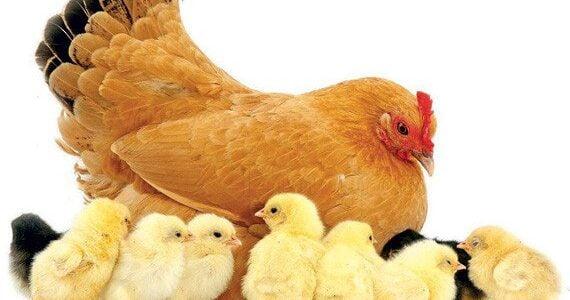 ما هى البيئة المناسبة لتربية دجاج التسمين