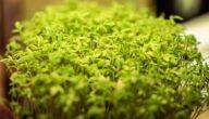 مواسم زراعة الرشاد وطريقة زراعة الرشاد