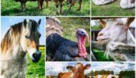 بحث عن تربية الحيوانات في المزرعة