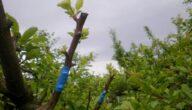 تطعيم الأشجار المثمرة كيف الطريقة والمواعيد