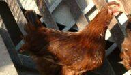 دجاج ستارا زاكورة الحمراء البياض