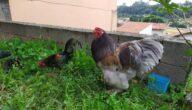 دجاج سومبور كابوركا البياض للتربية