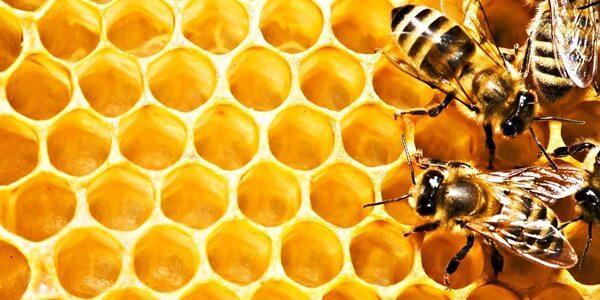 دراسة جدوى مشروع نحل العسل الأصلي في مصر