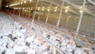 دراسة مشروع الدجاج البياض مربح في البحرين
