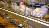 دراسة مشروع الدجاج البياض مربح في الجزائر