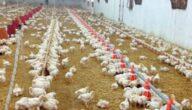 دراسة مشروع الدجاج البياض مربح في السودان