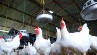 دراسة مشروع الدجاج البياض مربح في اليمن