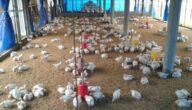 دراسة مشروع الدجاج البياض مربح في تركيا