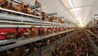 دراسة مشروع الدجاج البياض مربح في سورية