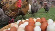 كيفية زيادة وزن الدجاج البيّاض