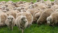 كيف أبدأ مشروع تربية الأغنام ودراسة جدوى لتربية الخراف