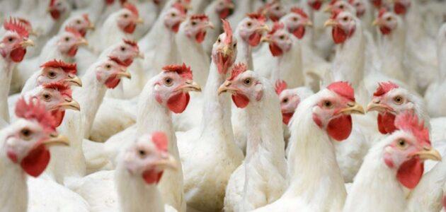 كيف ابدأ بتربية الدجاج البياض