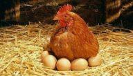 مشروع دجاج لوهمان البياض دراسة جدوى كاملة مع المتطلبات