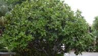 مواسم زراعة الفيكس ليراتا وطريقة زراعة الفيكس ليراتا