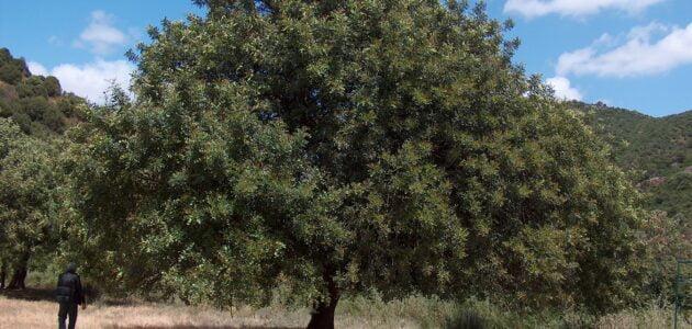 مواسم زراعة الخروب وطريقة زراعة الخرنوب