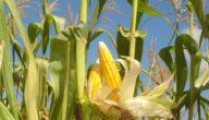 مواسم زراعة الذرة و طريقة زراعة الذرة